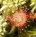 Drosera rotundifolia 3.jpg