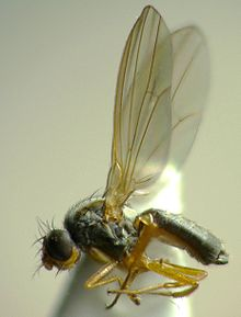 Drosophila funebris.jpg