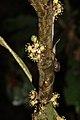 Drypetes sp. - male plant (Euphorbiaceae) (24443855255).jpg