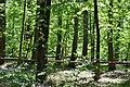 Dubechne Starovyzhivskyi Volynska-Modryna nature monument botanical-group of trees.jpg