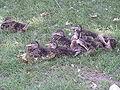 Ducklings Resting.jpg