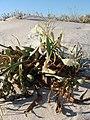 Dunas de São Jacinto, Nature Reserve (8089848065).jpg