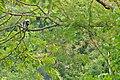 Dusky Langur in the rain in Kaeng Krachan national park (15950555662).jpg