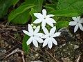 Earleaf jasmine (Jasminum elongatum) flowers.jpg