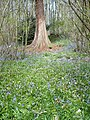 Early bluebells and a sequoia tree in Bysing Wood - geograph.org.uk - 1261725.jpg