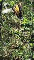 Eastern Tiger Swallowtail butterfly Eno River Hillsborough NC 103021 (30643774870).jpg