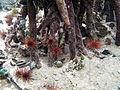Echinometra viridis 2.jpg