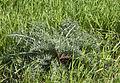 Echinops sp..jpg