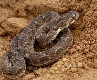 Venomous snake - Saw-scaled viper (Echis carinatus)