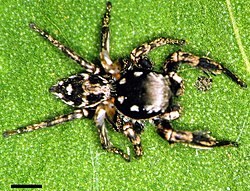 Edwards Habronattus brunneus 01.jpg