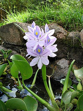 Eichhornia crassipes.jpg