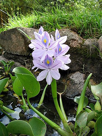 Eichhornia crassipes - Image: Eichhornia crassipes