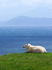 A contented looking sheep on Eigg, with the Mainland in the hinterground