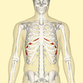 Eighth rib frontal.png