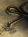 Ellsworth garter snake.jpg