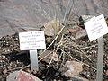 Elymus magellanicus - Palmengarten Frankfurt - DSC01901.JPG