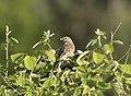 Emberiza calandra - Corn bunting 10.jpg
