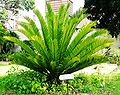 Encephalartos altensteinii00.jpg