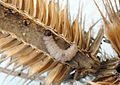 Endothenia marginana larva inside teasel head (16944247801).jpg