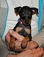English Toy Terrier (Black & Tan) puppy.jpg