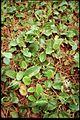 Epigaea repens 3-eheep (5097879552).jpg