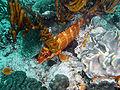 Epinephelus fasciatus Heron Island S01.jpg