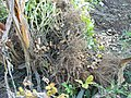 Erdnussernte um Manavgat östlich Side - panoramio.jpg