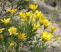 Ericameria linearifolia 6.jpg
