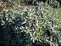 Eriogonum giganteum 2c.JPG