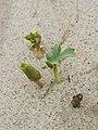 Eryngium maritimum kz23.jpg