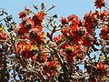 Erythrina latissima, blomme en peule, b, Pretoria.jpg