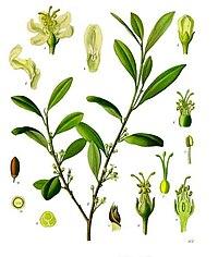 Erythroxylum coca - Köhler–s Medizinal-Pflanzen-204