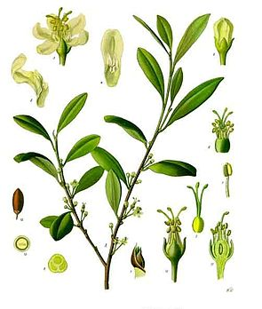 Coca-Strauch (Erythroxylum coca), Illustration.