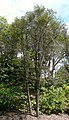 Espadaea amoena — Barry Stock 004.jpg