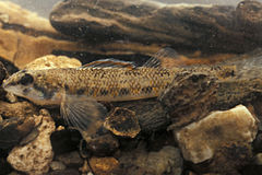 Etheostoma akatulo.jpg