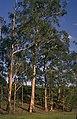 Eucalyptus globulus subsp. maidenii.jpg