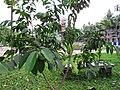 Eugenia cumini (Malabar plum) tree in RDA, Bogra 02.jpg