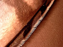 A close-up of a very small segment of a feather, showing a straight row of narrow, pale hooks projecting from a fuzzy-looking tan feather