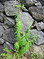 Euphorbia azorica (Habitus).jpg