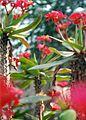 Euphorbia milii (2943652663).jpg