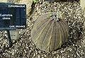 Euphorbia obesa.jpg