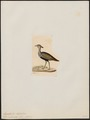 Eupodotis ruficrista - 1820-1860 - Print - Iconographia Zoologica - Special Collections University of Amsterdam - UBA01 IZ17200061.tif