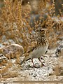 Eurasian Skylark (Alauda arvensis) (31445161863).jpg