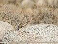 Eurasian Skylark (Alauda arvensis) (43220004121).jpg