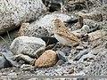 Eurasian Skylark (Alauda arvensis) (45766550352).jpg