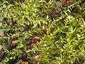 Eurhynchium hians.jpeg