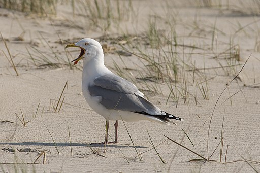 European herring gull (Larus argentatus), Amrum
