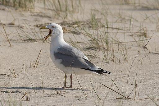 European herring gull (Larus argentatus), Amrum