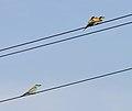 European roller + European bee-eater - Coracias garrulus + Merops apiaster.jpg