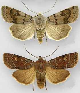 Euxoa chimoensis female (top) male (bottom).JPG